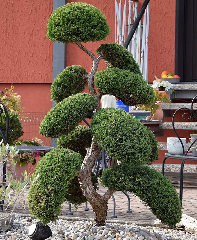Thuja in Bonsai Art in Weißensberg 2018